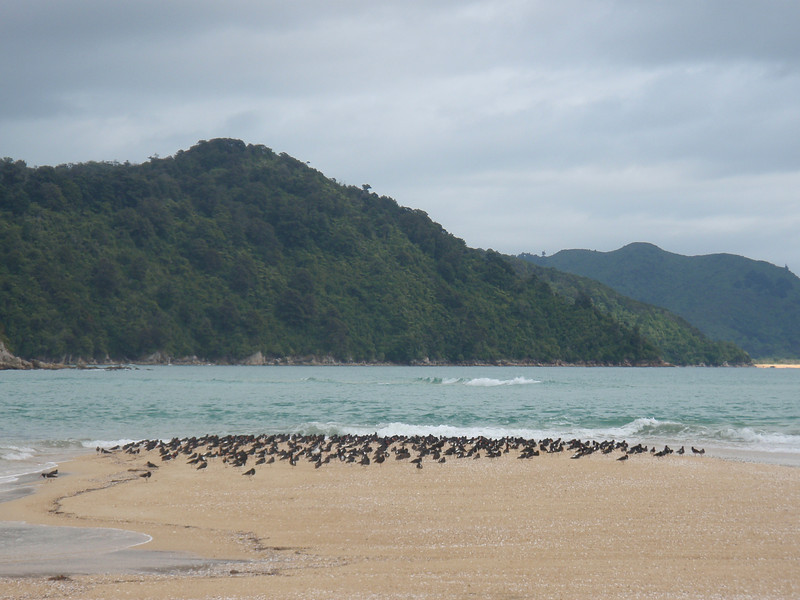 Flock of Oystercatchers