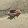 An ambitious hermit crab that picked a new shell that's a little too large