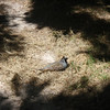 (introduced) California quail, male and female (in the upper left shadow)