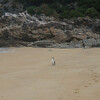 Pied Shag (Cormorant)