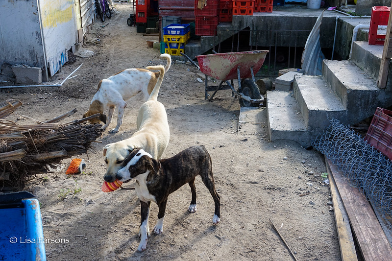 Island Dogs for Adoption