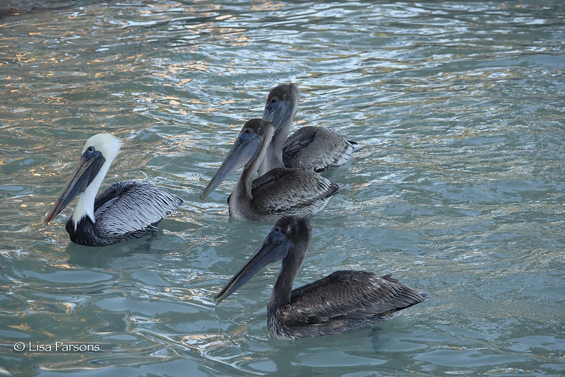 Pelicans Waiting for Fish Scraps
