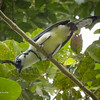 White Throated Magpie