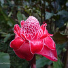Ginger Red Torch Flower