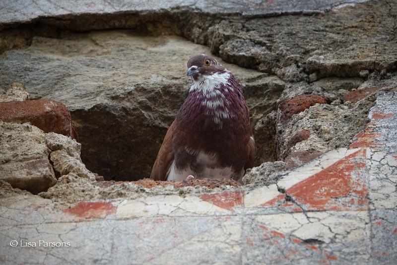 Violet Pigeon