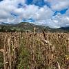 Dry Corn Husks
