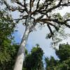 Cieba Tree