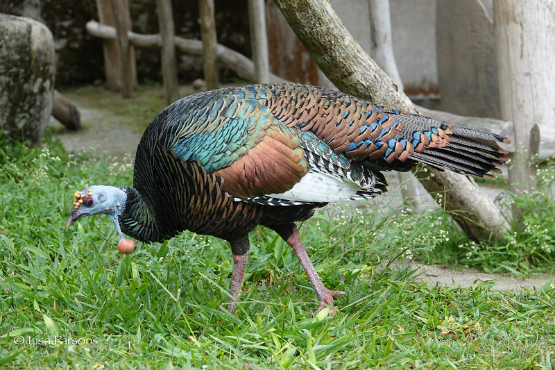 Ocellated Turkey—His Balls are LIterally Hanging From His Neck