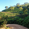 Road Winding Through Coffee Plantations