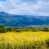 Field of Yellow Flowers 2
