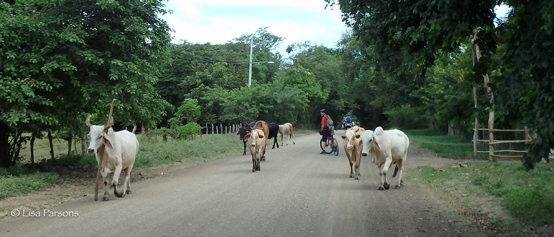 Cows to the Left of Me, Cows to the Right of Me