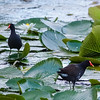 Birds Walking on the Lilies