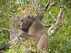 Baboon in Kruger National Park