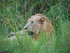 Lion in the Hluhluwe Umfolozi Game Reserve - Zululand