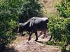Cape Buffalo on the shore of the Chobi River
