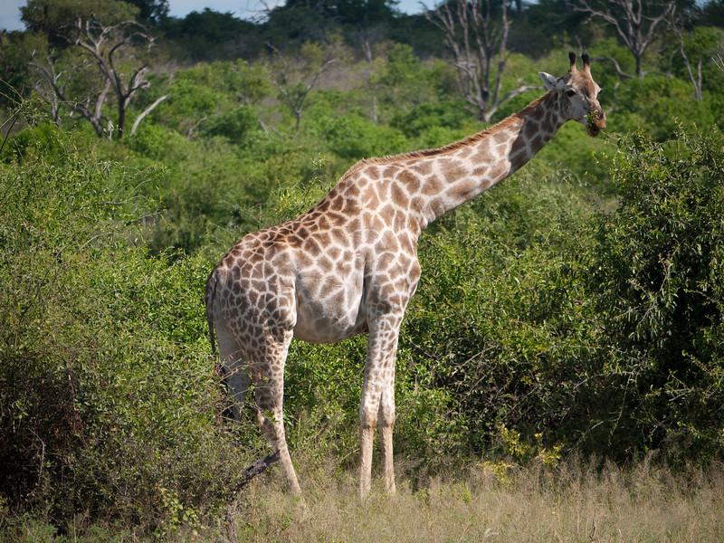 Giraffe in Chobe National Park