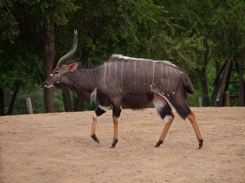 Male Nyala in the Hluhluwe Umfolozi Game Reserve - Zululand
