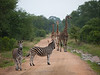 Giraffe and Zebra in Kruger National Park