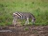 Zebras in Hluhluwe Umfolozi Game Preserve