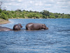 Hippopotamus in the Chobe River