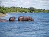 Hippopotamus in the Chobe River