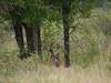Lion eating a freshly killed Zebra in Kruger National Park