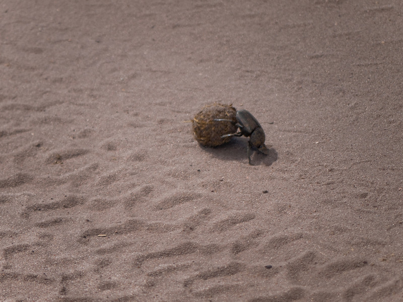 Dung Roller Beetle in Chobe National Park