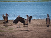 African Cranes in Chobe National Park