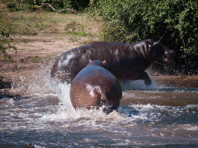 Hippopotamus in the Chobi River
