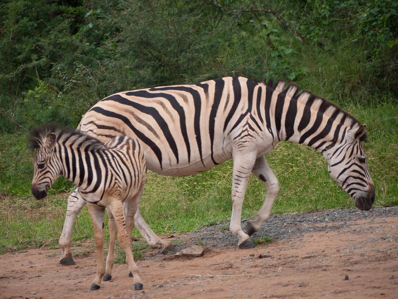 Mother and Baby Zebras in Hluhluwe Umfolozi Game Preserve