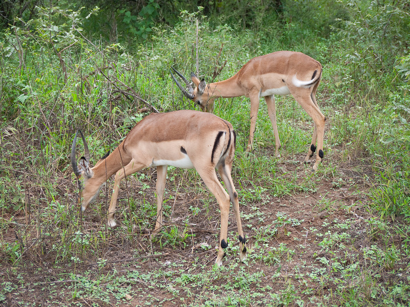 Impalas grazing in Kruger National Park