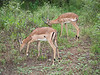 Impalas grazing in Kruger National Park