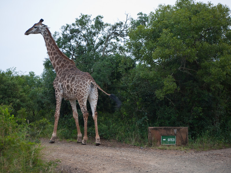 Giraffes in the Hluhluwe Umfolozi Game Reserve - Zululand
