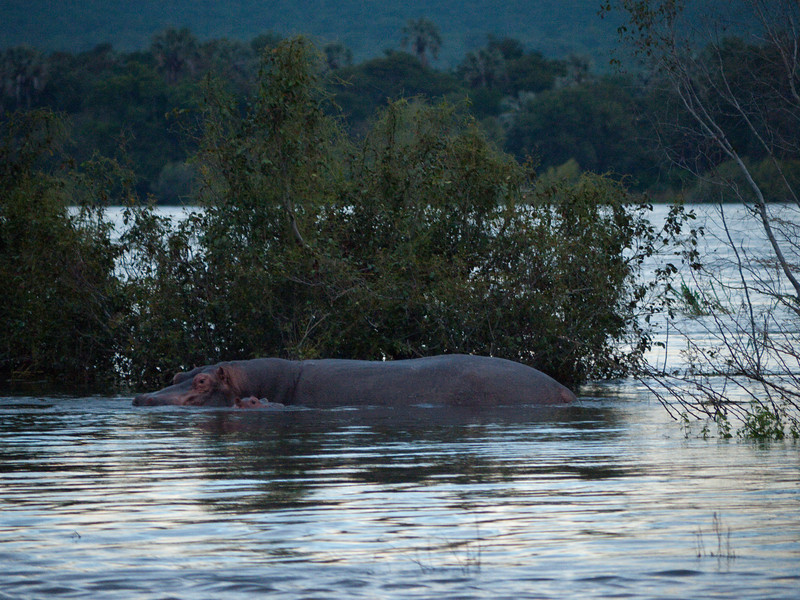 Hippopotamus and baby on the Zambezi River at Sundown.