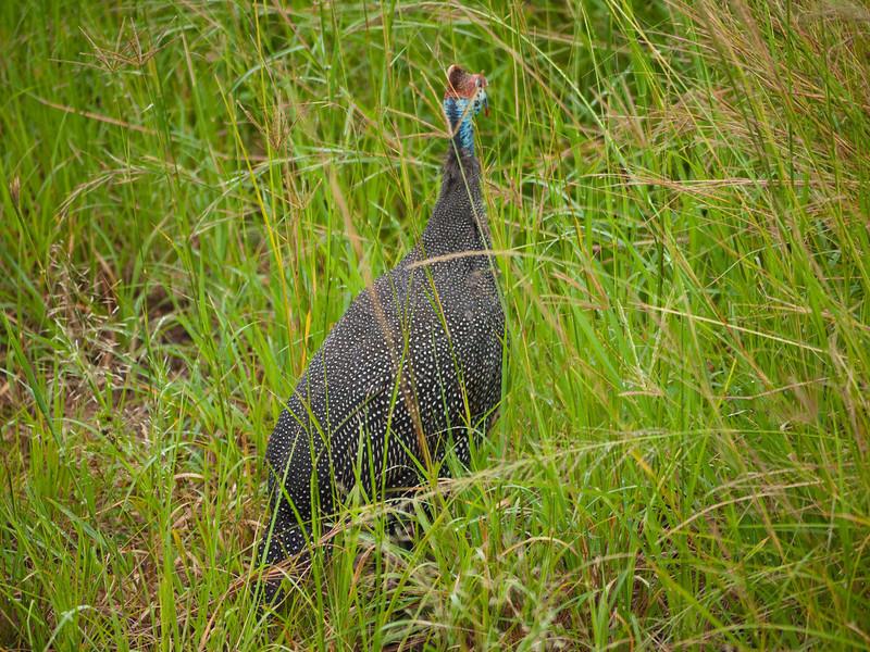 Guinea Hen in the Hluhluwe Umfolozi Game Reserve - Zululand