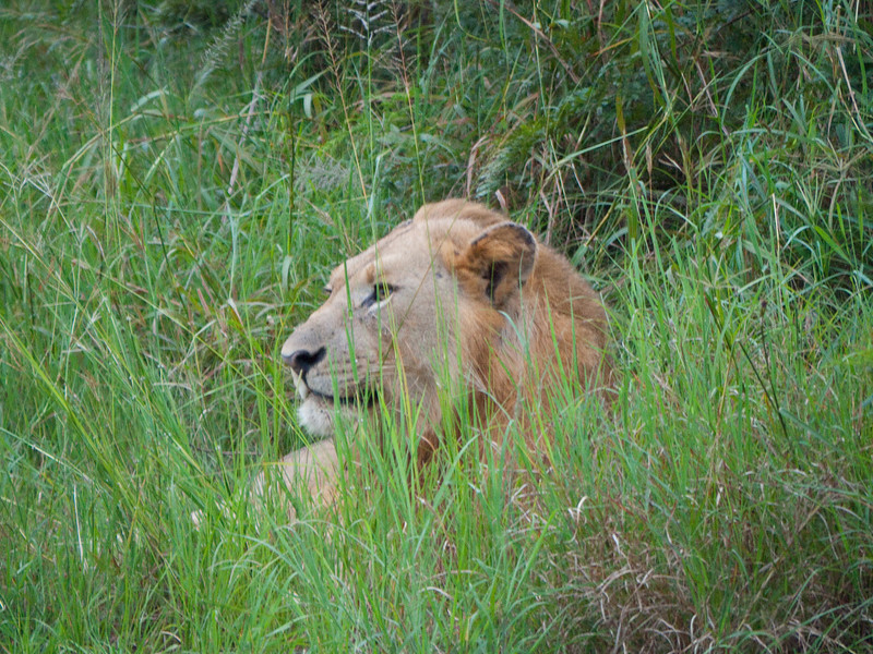 Lion in the Hluhluwe Umfolozi Game Reserve - Zululand