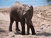 Elephant digging for salt in Chobe National Park
