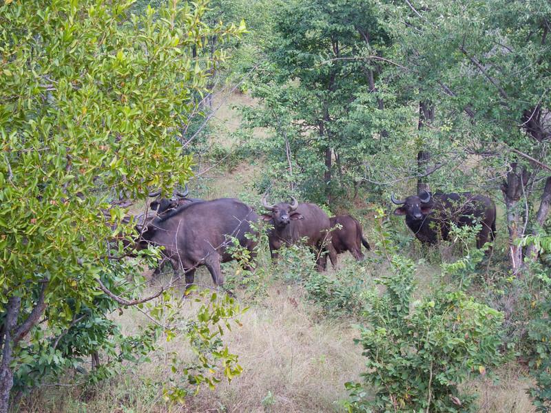 Cape Buffalo