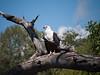 South African Augur Buzzard at the Chobi River