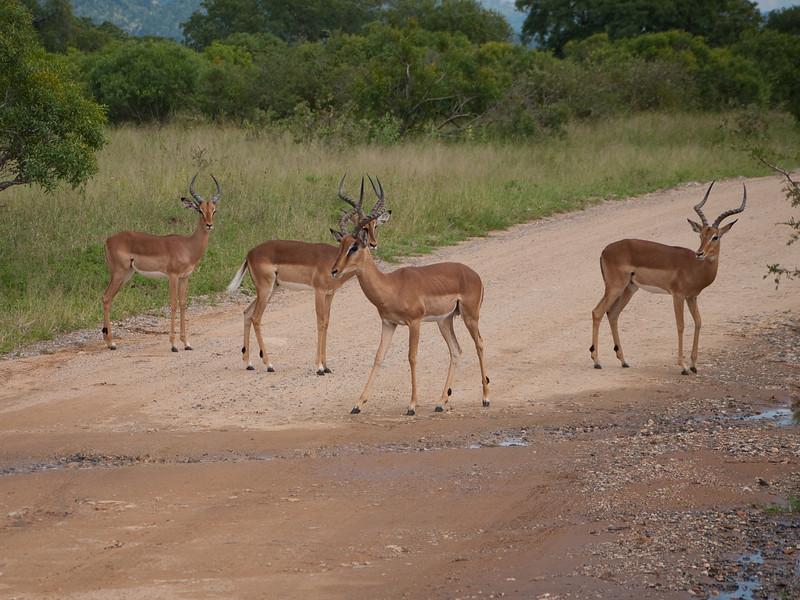 Bachelor Impalas at Kruger National Park
