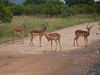 Bachelor Impalas at Kruger National Park