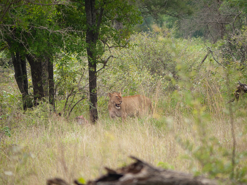 Lion in Kruger National Park