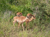 Female Impalas at Kruger National Park