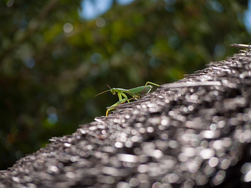 African Preying Mantis