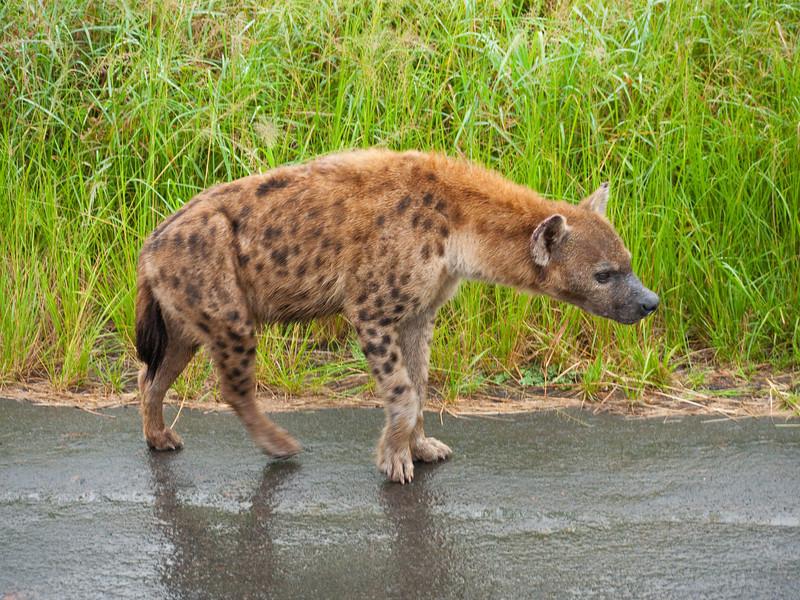 Hyena in the Hluhluwe Umfolozi Game Reserve - Zululand