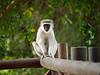 African Velvet Monkey near Kruger National Park