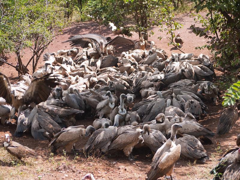 Vulture feeding frenzy.