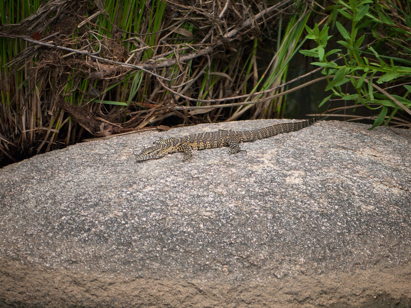Small ground lizard in Kruger National Park