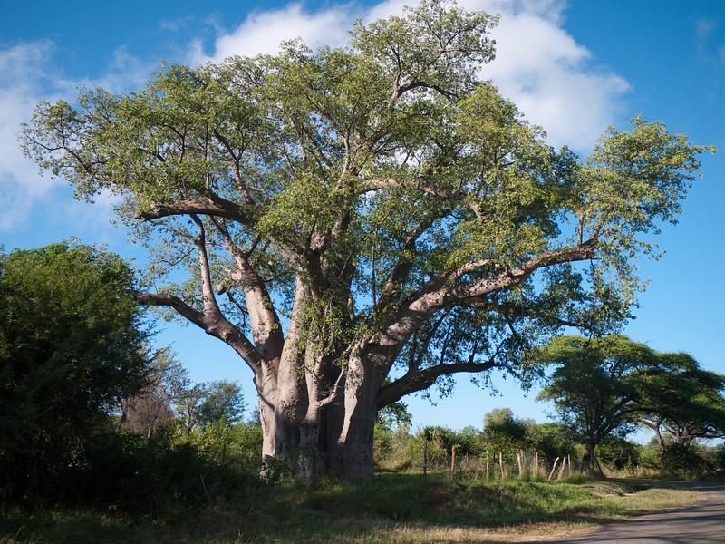 Balboa Tree - 1500 Year Old Specimen, aka Home Tree