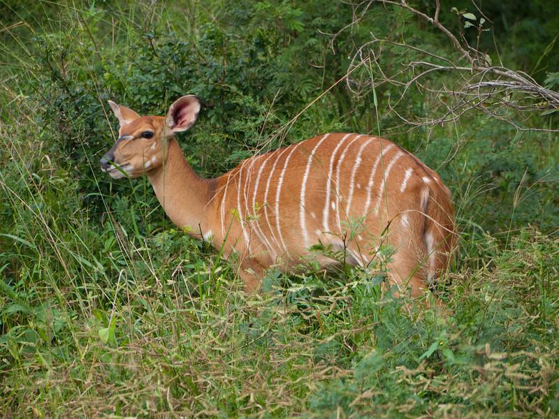 Female Nyala in the Hluhluwe Umfolozi Game Reserve - Zululand